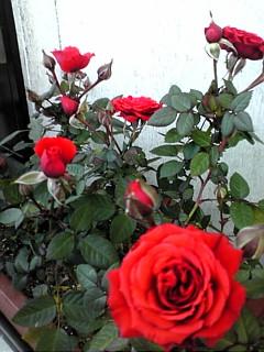 やはり薔薇は王者