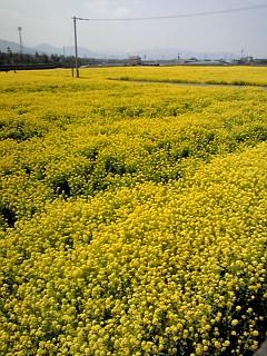 素晴らしい菜の花畑