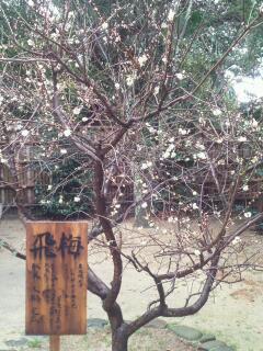 松山神社の飛梅