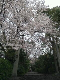 桜満開の松山神社