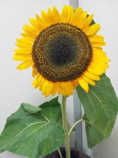 BIG過ぎる向日葵
